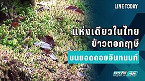 แห่งเดียวในไทย ข้าวตอกฤาษี บนยอดดอยอินทนนท์