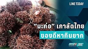 """""""มะก่อ"""" เกาลัดไทย ของดีหากินยาก"""