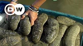 Going Wild EP.13 | Madagascar | Sea Cucumbers