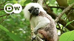 Going Wild EP.14 | Colombia | Cotton-Top Tamarin