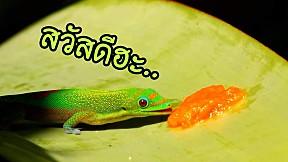 ตุ๊กแกอะไร หน้าเหมือนจิ้งจก..? Madagascar Day Gecko.