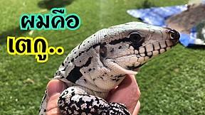 เตกู กิ้งก่าหน้าโหด ที่อยู่ในโหมด คิตตี้ Tegu Lizard.