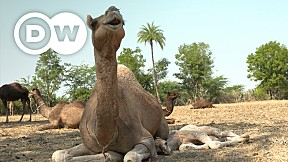 Going Wild EP.16 | India | Camels