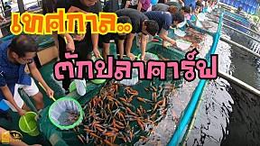เปิดบ่อปลาคาร์ฟนำเข้า วันแรก 19,000 ตัว ตักกันกระจาย สวยๆทั้งนั้น